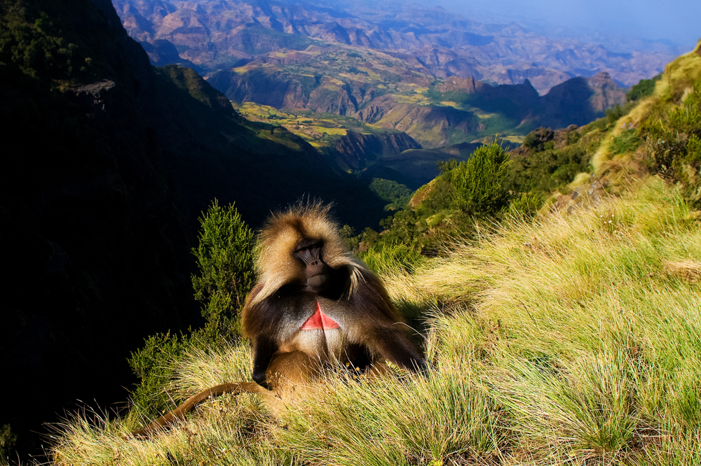 Ethiopia-Tours-Gelada baboons